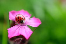 Free Ladybug Royalty Free Stock Photos - 25216088