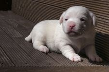 Free Jack Russel Puppy Stock Photo - 25217310