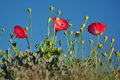 Free Red Poppies With Blue Sky Royalty Free Stock Photo - 25225155