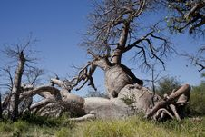 Free Abstract Baobab Tree Stock Photo - 25220090