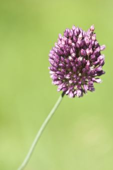 Free Wild Onion Flower Royalty Free Stock Image - 25226126
