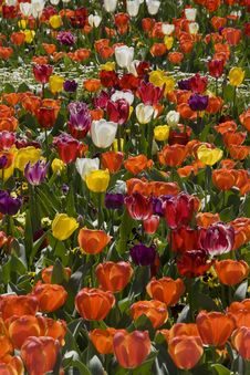Free Masses Of Tulips Royalty Free Stock Image - 25227406