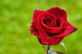 Free Red Rose On Green Royalty Free Stock Image - 25233626
