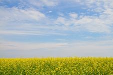 Free Flower Of Oil Rapeseed In Field Stock Photos - 25230413