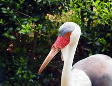 Free Wattled Crane Profile Royalty Free Stock Photo - 25236165