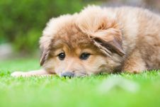 Free Cute Elo Puppy Lies Lazy In The Grass Royalty Free Stock Images - 25236449