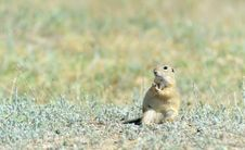 Free Prairie Dog Royalty Free Stock Images - 25239759