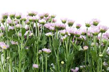 Free Flowers Royalty Free Stock Image - 25239856