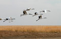 Free Red-crowned Crane To Take Off Stock Photos - 25249123