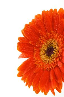 Free Red Gerbera Flower Stock Image - 25247281