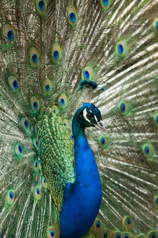 Free Peacock Displaying Feathers Stock Images - 25247984