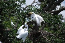 Free Two Egrets In Nest Royalty Free Stock Photo - 25249325