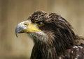 Free Eagle Head Stock Photo - 25252240