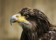 Free Eagle Head Stock Photo - 25252240