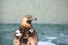 Free Imperial Eagle Stock Photo - 25255920