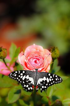 Beautiful Spotted Butterfly On A Pink Rose Flower Stock Images