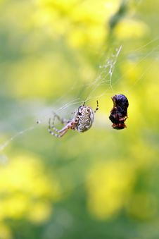 Free Spider And His Prey Royalty Free Stock Photography - 25259697