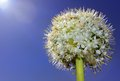 Free Flower In The Form Of A Ball Royalty Free Stock Images - 25267539