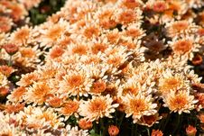Free Autumn Mums Stock Images - 25263064