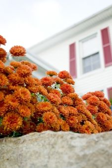Free Autumn Mums Royalty Free Stock Photography - 25263147