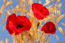 Free Three Red Poppies Royalty Free Stock Photo - 25267065
