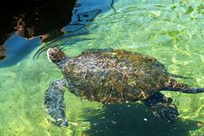 Free Sea Turtle In The Red Sea Eilat Stock Image - 25269011
