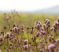 Free Flowering Thistle Stock Photos - 25271333