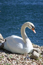 Free Swan Sitting On The Shore Royalty Free Stock Photos - 25279518