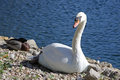 Free Swan Sitting On The Shore Stock Photo - 25279530