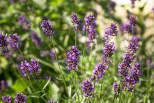 Free Lavender Bush Royalty Free Stock Images - 25271469