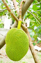 Free Jackfruit Hanging Stock Photography - 25284262