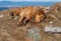 Free Sleeping Nova Scotia Retriever Royalty Free Stock Image - 25286246