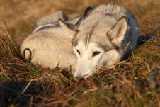 Free Siberian Husky Dog Stock Image - 25286221