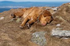 Free Sleeping Nova Scotia Retriever Royalty Free Stock Image - 25286246