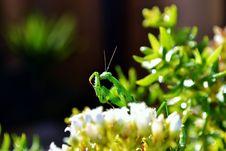Free Praying Mantis Royalty Free Stock Photography - 25287927