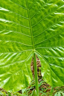 Free Green Caladium Leaf Royalty Free Stock Photo - 25289005