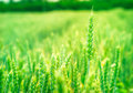 Free Green Wheat Stock Images - 25293204
