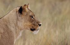 Free Staring Lioness Stock Photo - 25293150