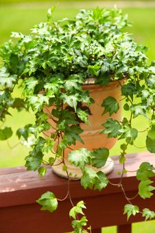 Free English Ivy In Planter Stock Photo - 25296840
