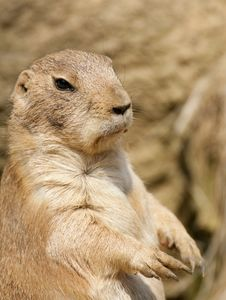 Free Prairie Dog Standing On Hind Legs Royalty Free Stock Photography - 25296937