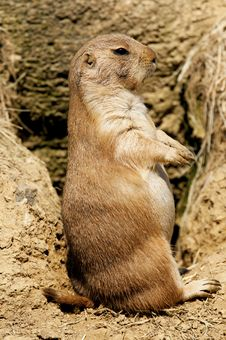 Prairie Dog Standing On Hind Legs Stock Image
