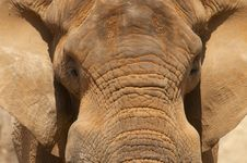 Free Close Up Image Of An Elephant Head And Ears. Stock Photos - 25297103