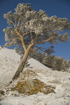 Free Snowy Winter Tree. Royalty Free Stock Photography - 25297597