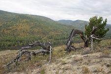 The Dry Fallen Trees. Royalty Free Stock Photos