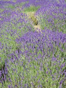 Free Lavender Field Stock Photos - 25299283