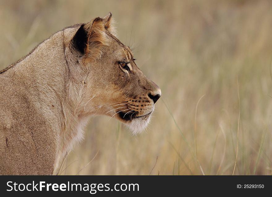Staring Lioness