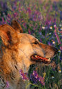 Free My Dog In The Meadow Royalty Free Stock Images - 2532319