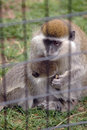 Free Protective Mother Monkey Royalty Free Stock Images - 2536099