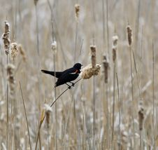 Free Red-winged Blackbird Stock Photo - 2530790
