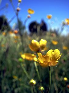 Buttercup Meadow Stock Photography